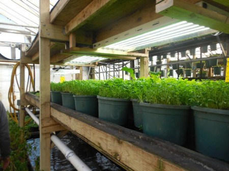 Growing Power grows cilantro in one of its six traditional greenhouses. (Photo by Maria Corpus)